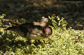 Canard carolin ♀