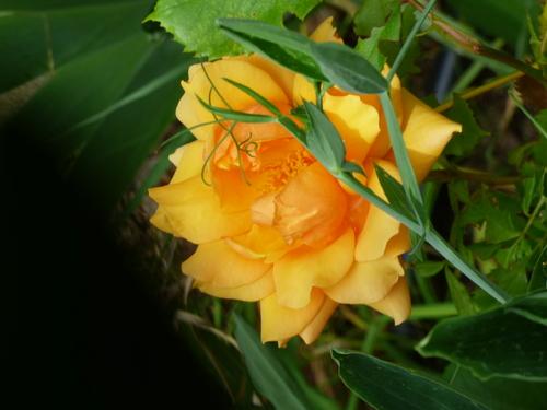 Les roses de mon jardin (1)