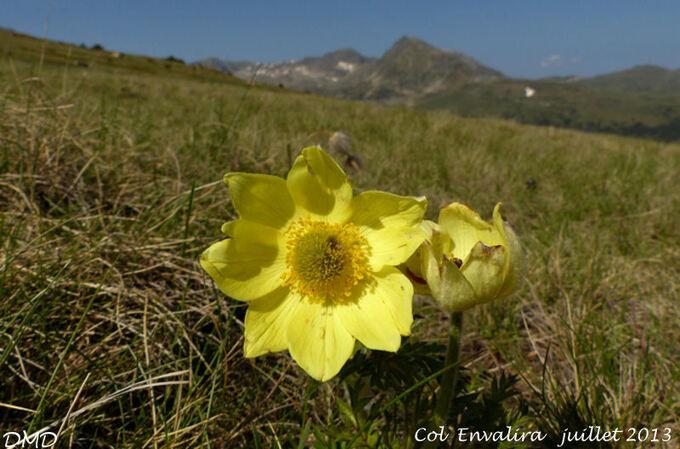 Anemone alpina subsp. apiifolia = Pulsatilla alpina subsp. apiifolia  -  pulsatille souffrée