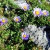 Aster des Alpes (Aster alpinus)