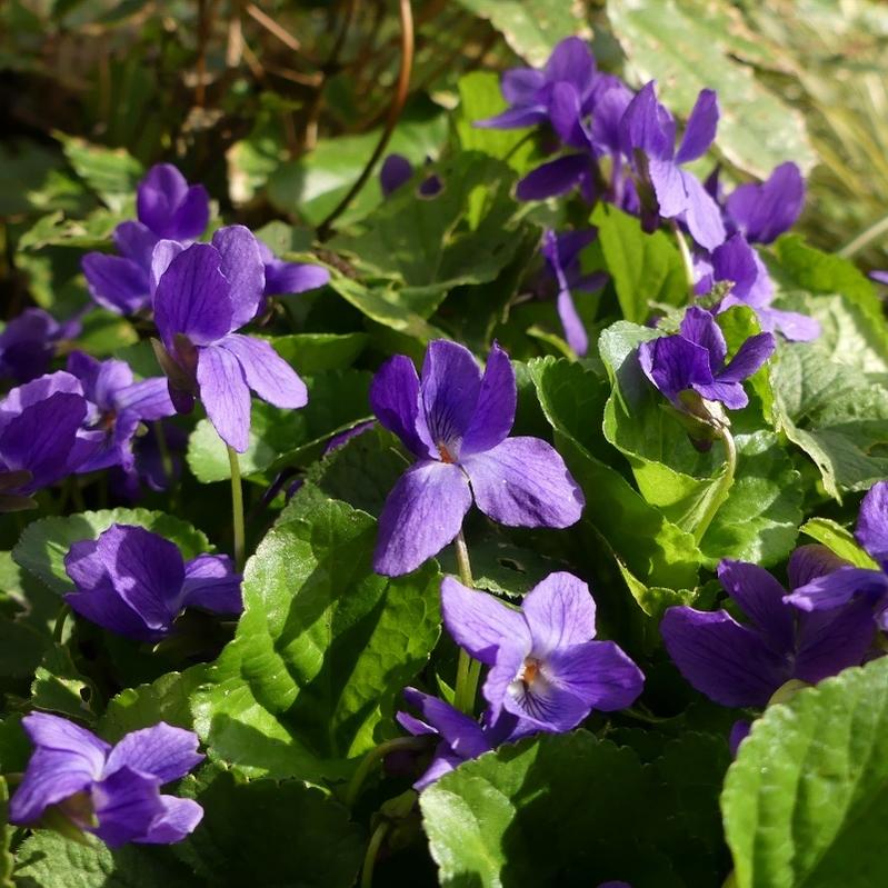 Un bouquet de violettes...