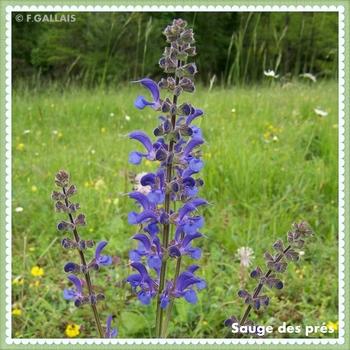 Sauge des prés-Sauge commune-Salvia pratensis