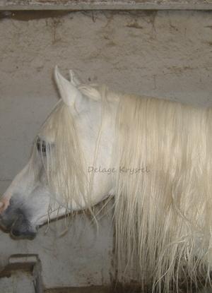 "Cheval Pur Sang Arabe ou Equus Ferus Caballus - Son nom ""Mondrian"""