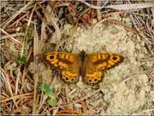 Le Satyre Lasommiata megera Nymphalidae