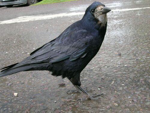 Corbeau Freux (Rook)