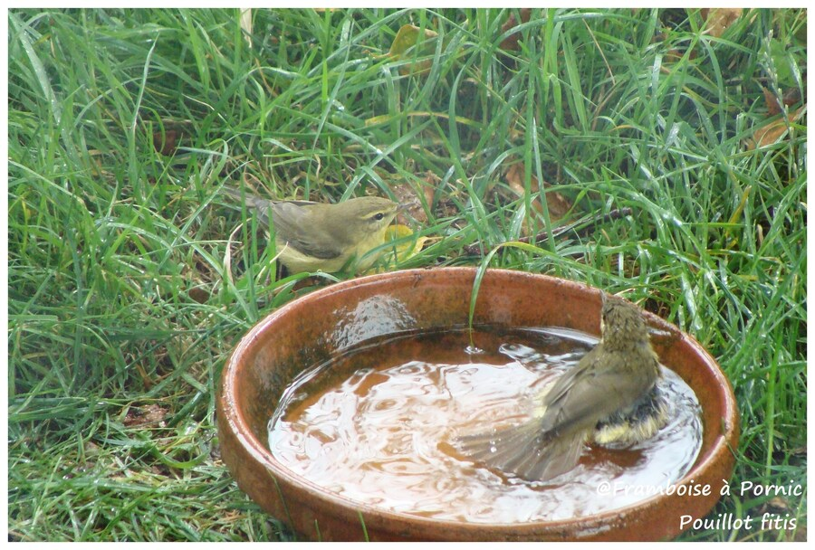 Pouillot fitis au bain dans le jardin