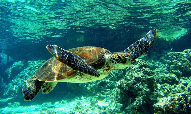 Tortue marine arts et voyages - Images tortue ...