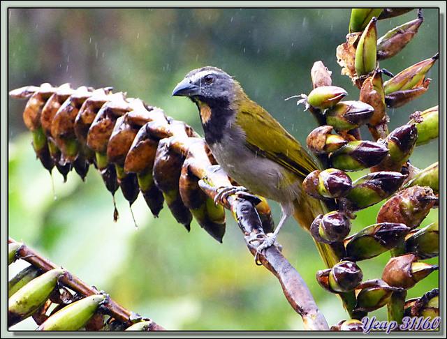 Blog de images-du-pays-des-ours : Images du Pays des Ours (et d'ailleurs ...), Saltator des grands-bois, Buff-throated Saltator (Saltator maximus) - Arenal - Costa Rica
