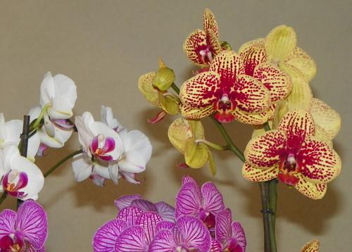 Les quatre saisons de l'orchidée