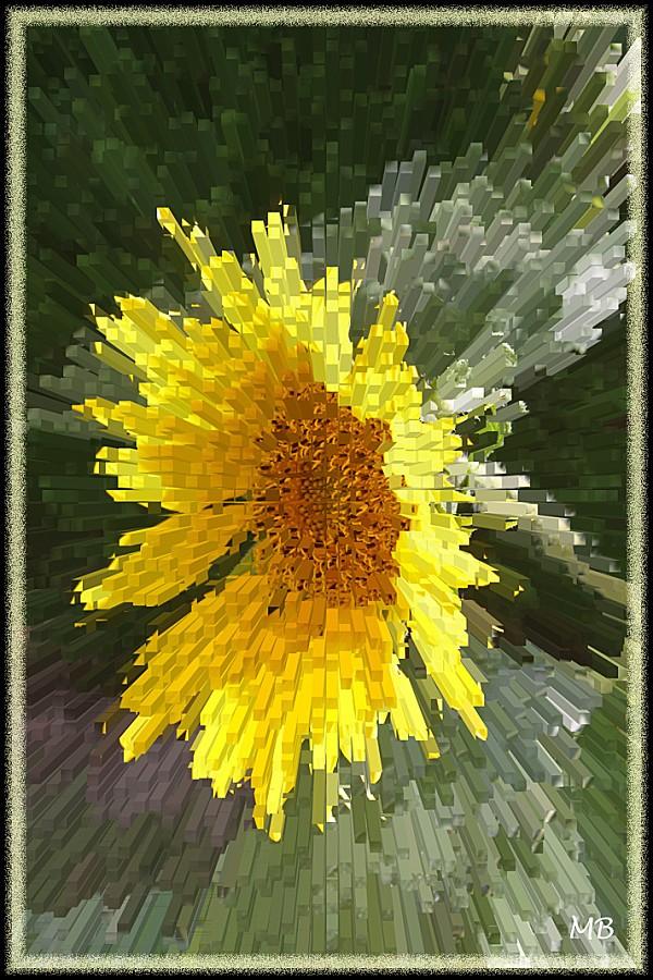 Fleur 15 : le tournesol de mon jardin