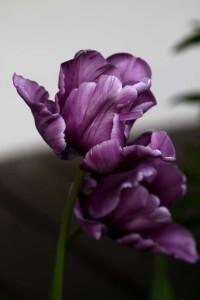 Tulipes Blue Parrot6