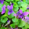 Nos violettes