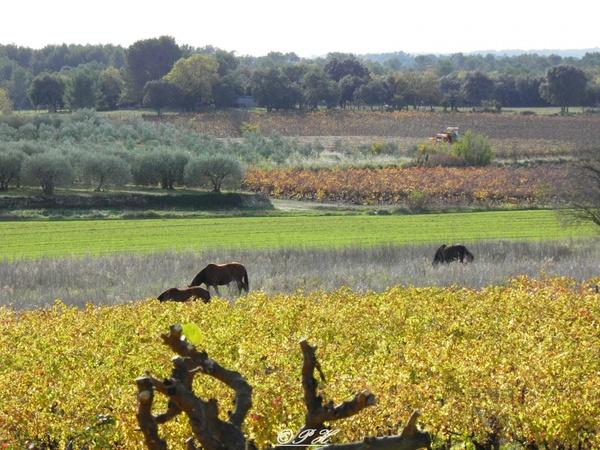 Chevaux entre vigne et oliviers