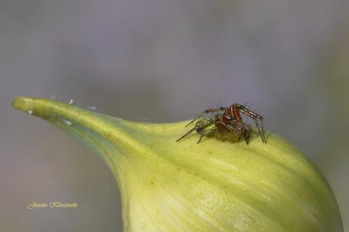 """La """"Cucurbitina"""" ou araignée courge"""