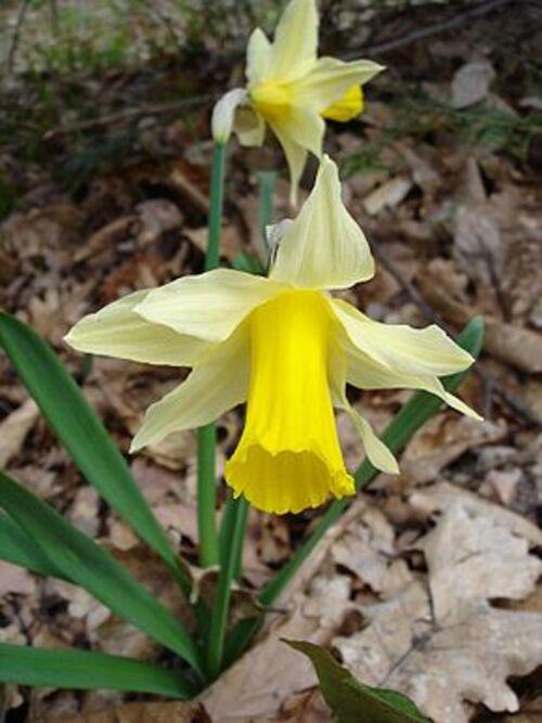 Fleurs cultivées : Narcisse
