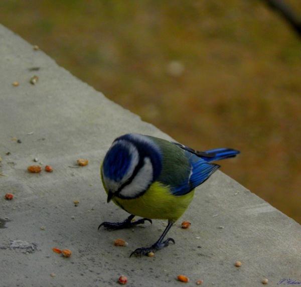 Mésanges bleues très gourmandes