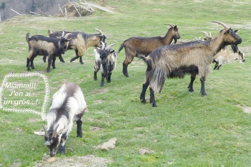 Les chèvres du col d'Aspin (A ce pain!!!)…