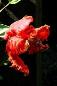 Tulipes Rococo6