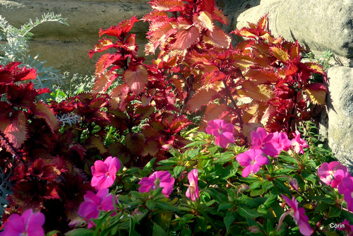 Des fleurs blanches et des feuilles colorées ...