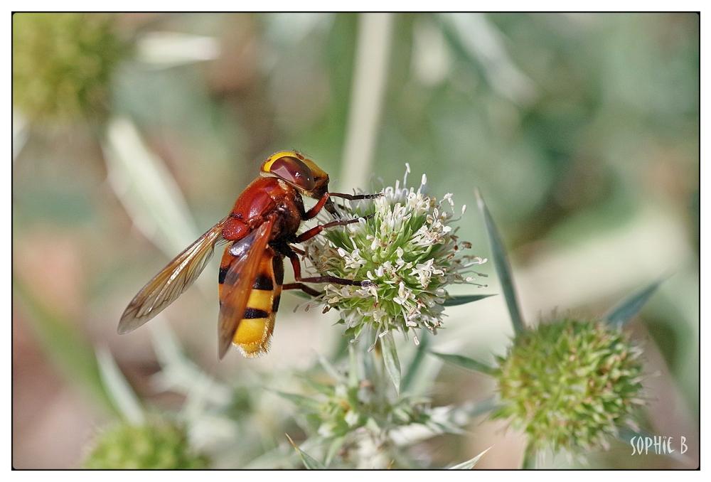 Une jolie pollinisatrice .