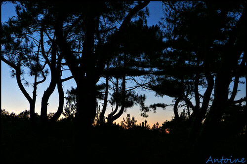 Pinède nocturne..