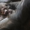 Kijivu, la maman gorille, protège son bébé