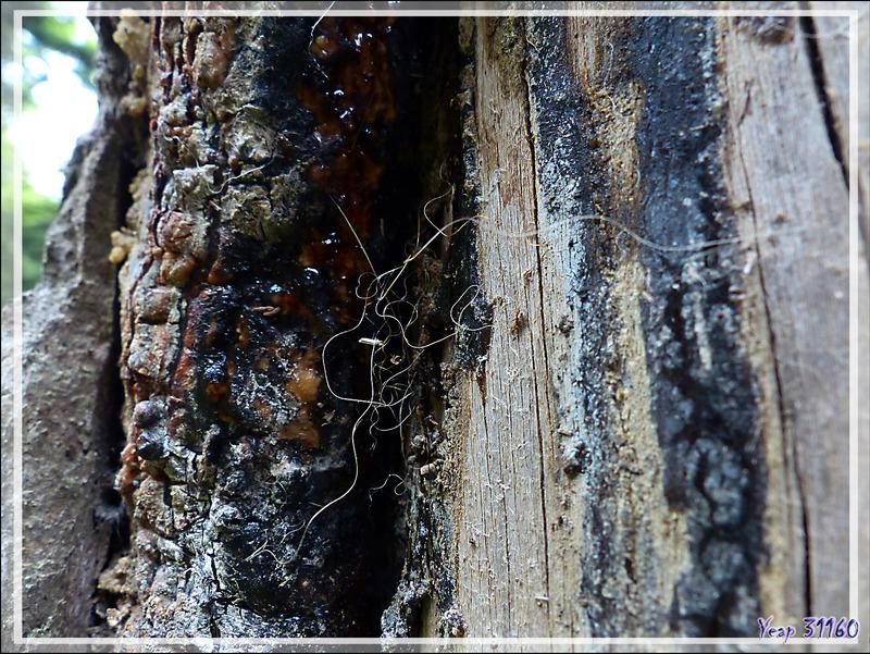 Araignée Pireneitega segestriformis, endémique des Pyrénées (1489 m d'altitude) - Couledoux - 31