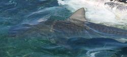 Ballet de requins tigres