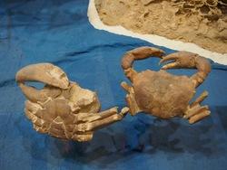 Crabes de pierre