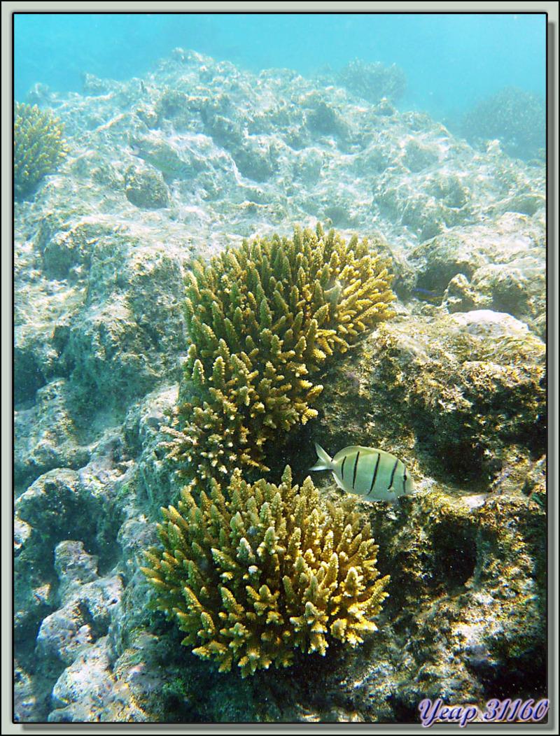 Snorkeling dans le lagon de la pension Raira Lagon : Poisson-chirurgien bagnard - Rangiroa - Polynésie française