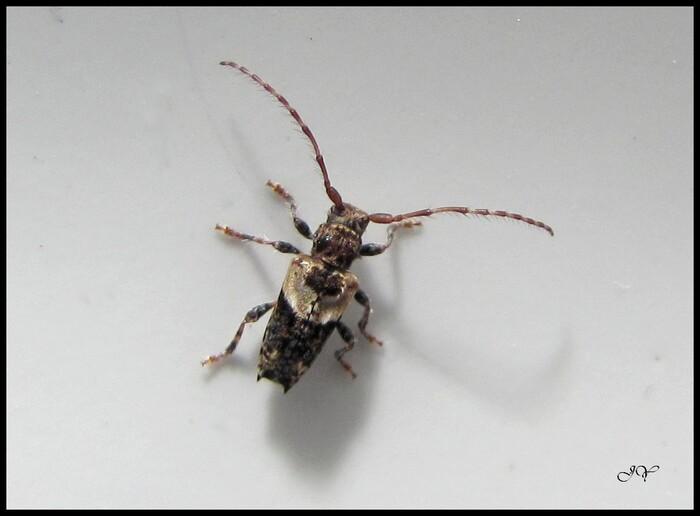 Pogonocherus hispidus.