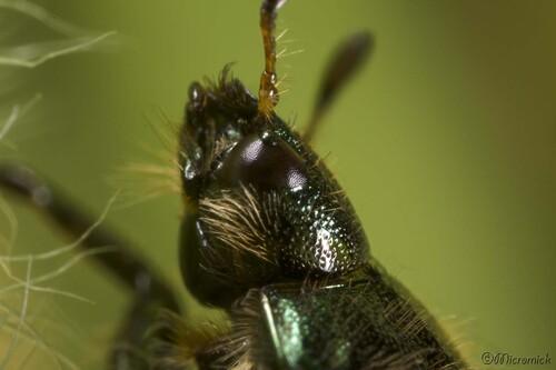 Phyllopertha horticola (Hanneton horticole)