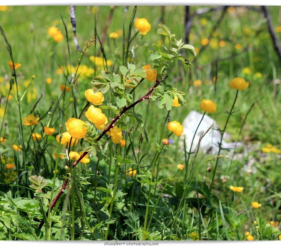 """Photos à thèmes N°7 et N°8 """"Fleurs de montagne"""""""