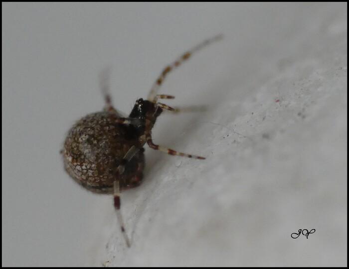 Dipoena melanogaster.