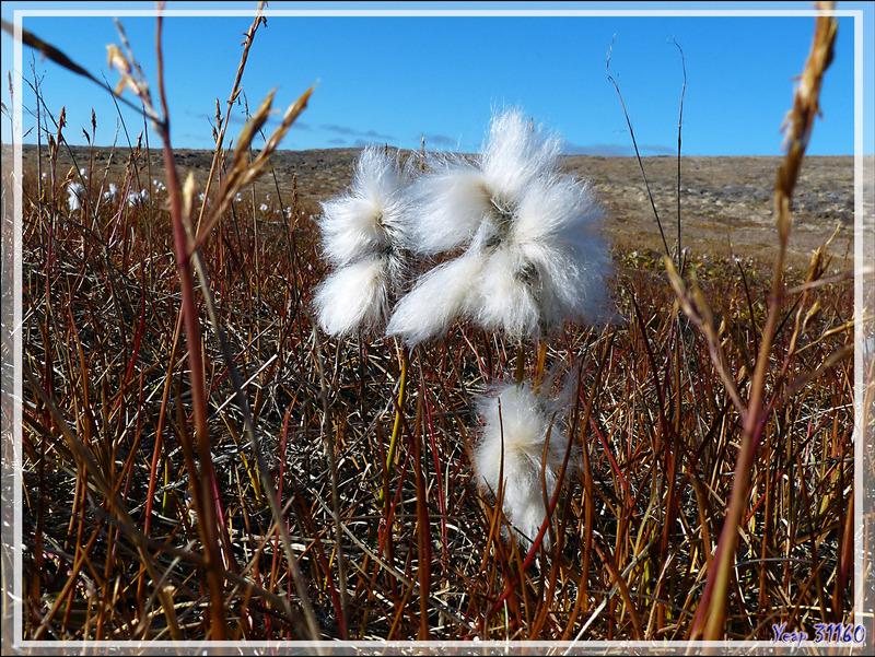 Linaigrette à feuilles étroites, Tall cotton-grass, Tall arctic cotton (Eriophorum angustifolium) - Jesse Harbour - Banks Island - Territoires du Nord-ouest - Canada