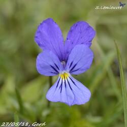 #380 Viola tricolor
