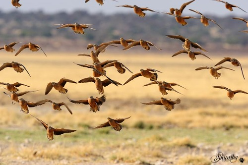 Birds of the Kgalagadi
