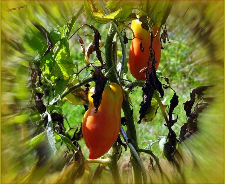 Tomatiers c'est un métier