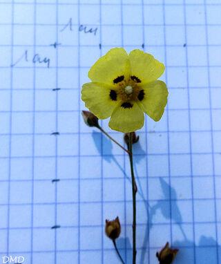 Tuberaria guttata  -  hélianthème taché