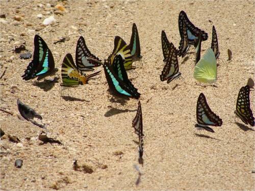 Papillons d'Asie et d'Europe