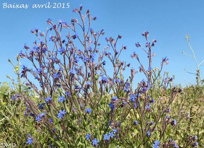 Anchusa italica  -  buglosse d'Italie