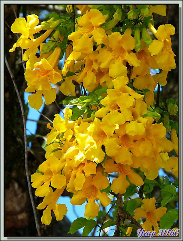 Blog de images-du-pays-des-ours : Images du Pays des Ours (et d'ailleurs ...), Superbe liane à fleurs jaunes - La Palma - Puerto Jiménez - Costa Rica