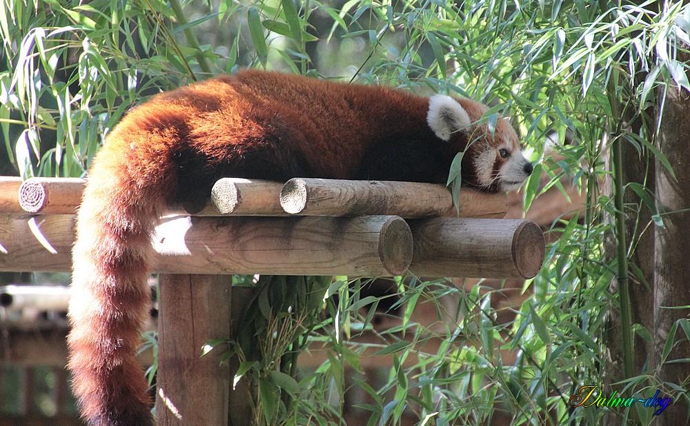 """panda roux """" la Palmyre"""""""