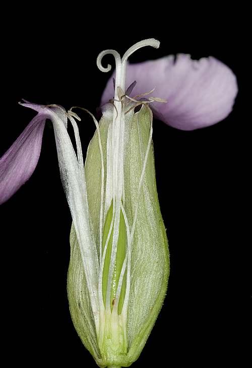 Vertus médicinales des plantes sauvages : Saponaire