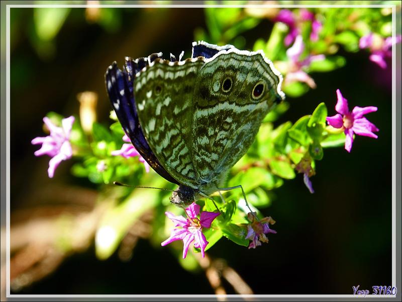 Un superbe papillon bleu intense à ocelles : le Junonia rhadama - Nosy Be - Madagascar