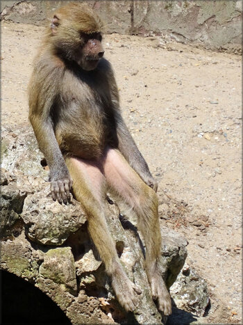 Photo de l'hamadryas (Zoo du bassin d'Arcachon)