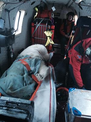 Bedøvet isbjørn i helikopter.