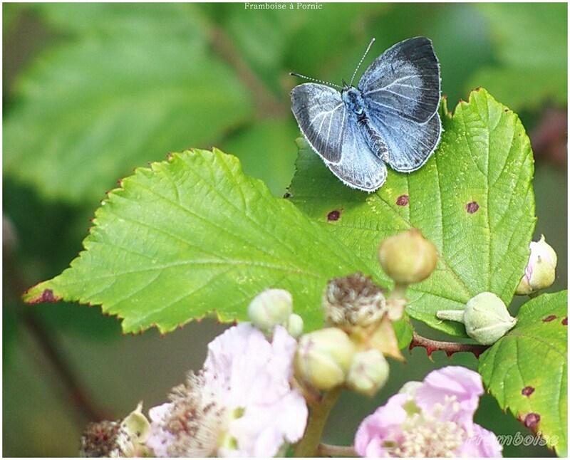 Papillons Argus bleu