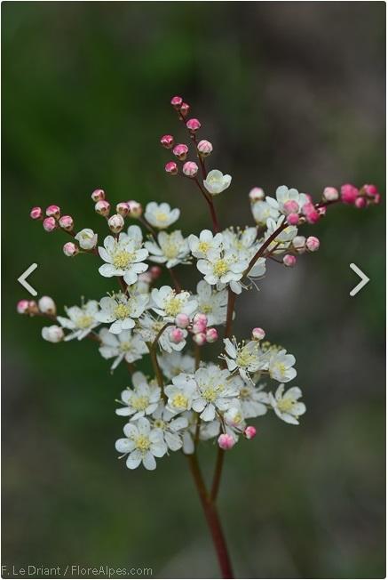 Filipendula vulgaris - FloreAlpes