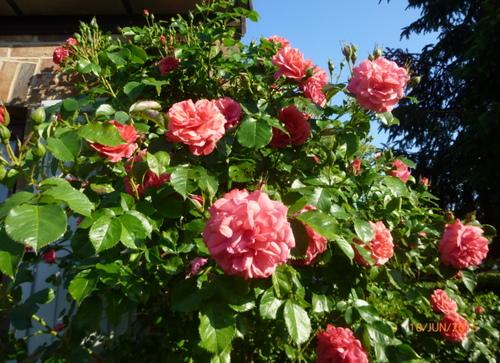 Le triomphe des roses